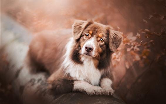 Papéis de Parede Pastor australiano, cão, procure