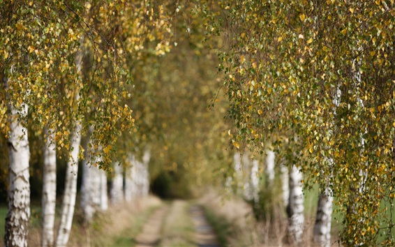 Wallpaper Autumn, birch, trees, twigs, leaves, path