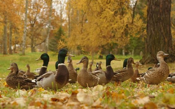 Papéis de Parede Outono, patos