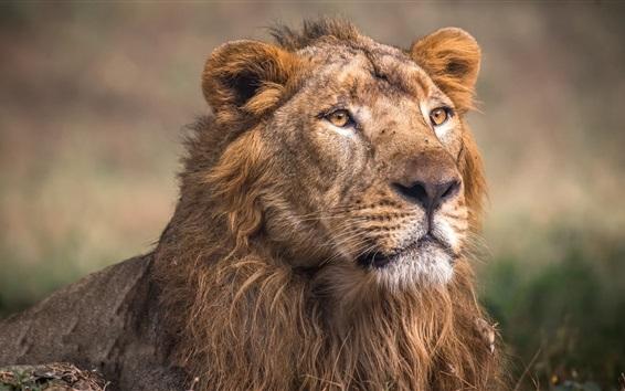 Fond d'écran Bête, lion, crinière