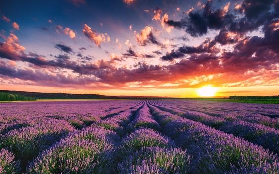 배경 화면 아름다운 라벤더 밭, 꽃, 여름, 일몰