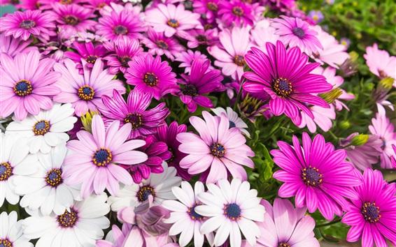Papéis de Parede Crisântemo rosa lindo, flores de verão