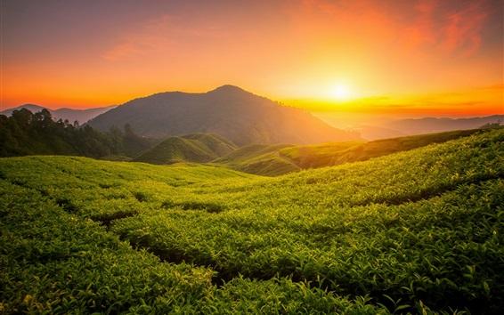 Wallpaper Beautiful tea garden, hills, sunrise