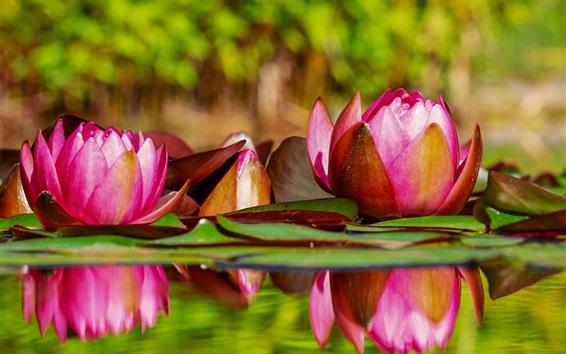 Обои Красивая водяная лилия, розовые цветы, вода, пруд