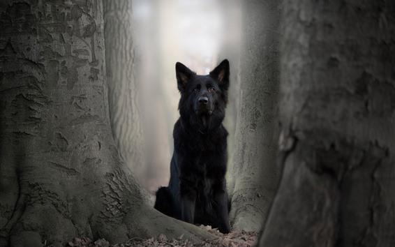 Wallpaper Black dog, German shepherd