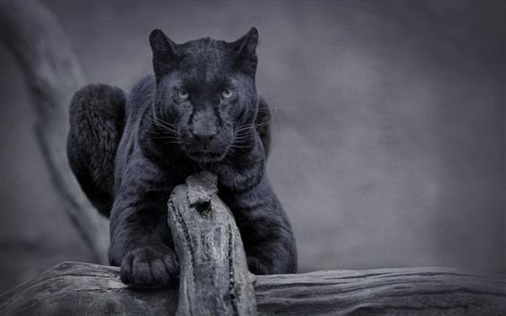 Wallpaper Black panther, wildlife, front view