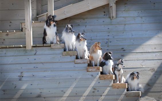 Wallpaper Border collie, some dogs, ladder