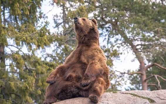 Papéis de Parede Urso pardo sentar na pedra