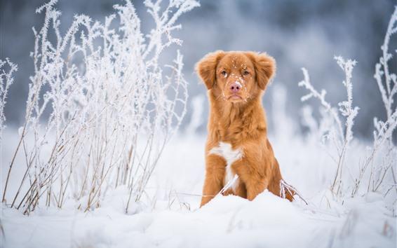 배경 화면 갈색 컬러 개 전면보기, 눈, 겨울