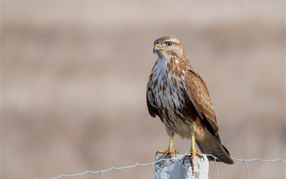 Обои Стервятник, орел, птица, забор