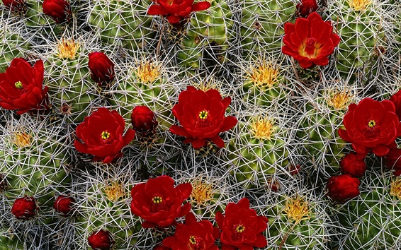 Wallpaper Cactus red flowers, needles
