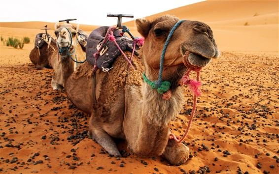 Wallpaper Camels, desert