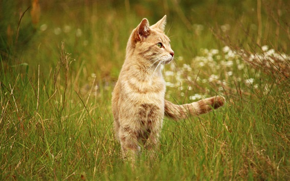 Wallpaper Cat in the grass, tail, look