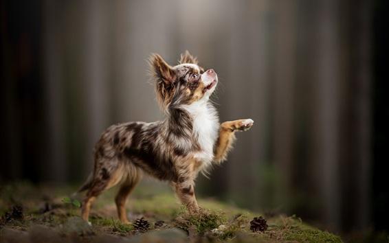 Wallpaper Chihuahua, dog, lift foot