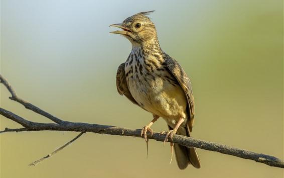 Wallpaper Crested lark, bird