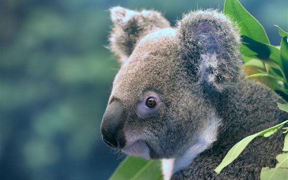 Papéis de Parede Animal bonito, coala