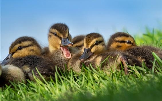 Wallpaper Cute ducklings in the grass