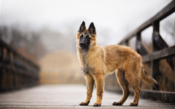Обои Собака, мост, боке