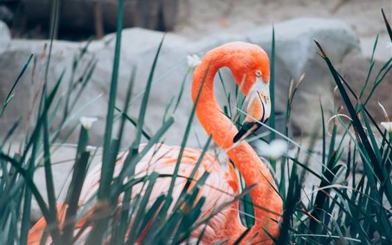 Обои Фламинго, шея, трава
