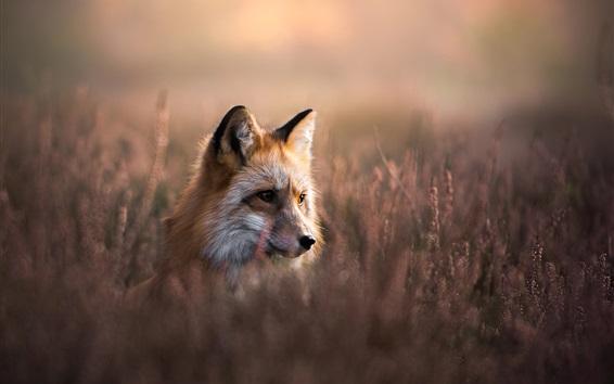 Papéis de Parede Fox esconder na grama