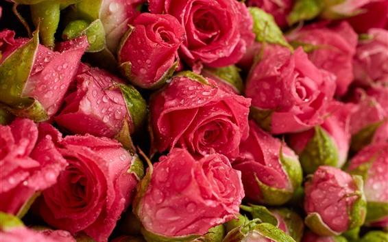 Обои Свежие красные розы, фон цветы, капли воды