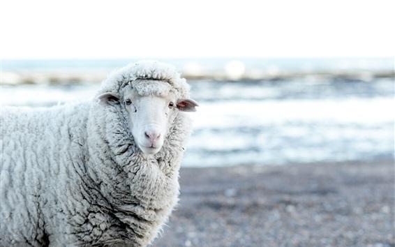 Обои Меховые овцы