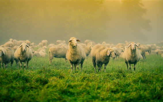 Fondos de pantalla Hierba, muchas ovejas