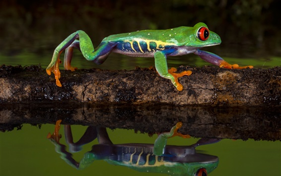 Wallpaper Green frog, water, reflection