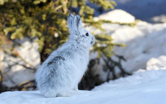Papéis de Parede Lebre, neve, inverno