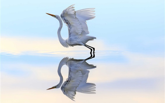 Wallpaper Heron ready to flying, wings, water, reflection