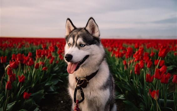 Обои Хаски собака, красные тюльпаны