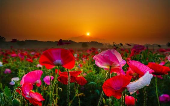 Fond d'écran Japon, Mont Tsukuba, coquelicots rouges et roses, lever du soleil, matin