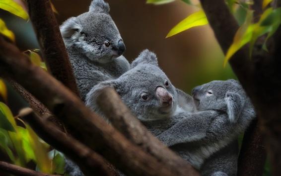 Wallpaper Koala family, cub, cute animal