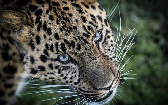 Papéis de Parede Leopardo, cara, olhos, bigode