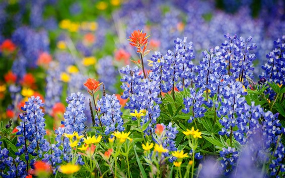Wallpaper Lupin blue flowers, summer