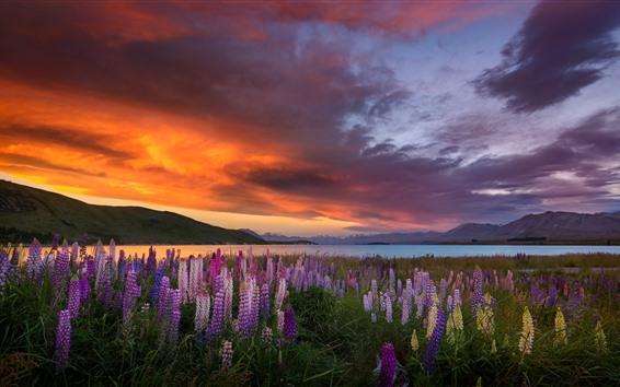 배경 화면 루팡 꽃, 바다, 일몰