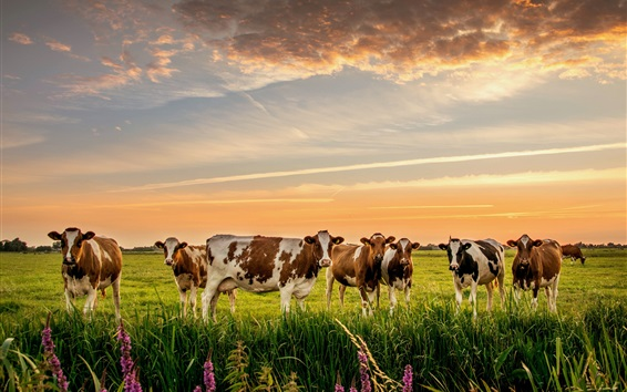Papéis de Parede Muitas vacas, grama, prado