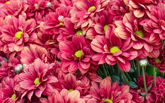 Papéis de Parede Muitos crisântemo vermelho, flores