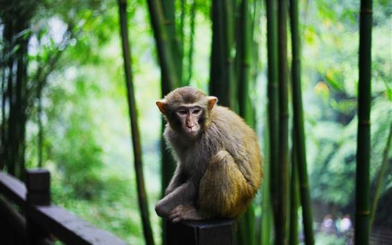 Обои Обезьяна, бамбуковый лес