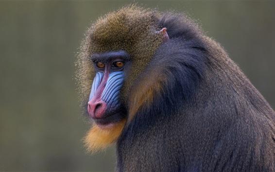 Papéis de Parede Macaco, cara, animais selvagens, primatas
