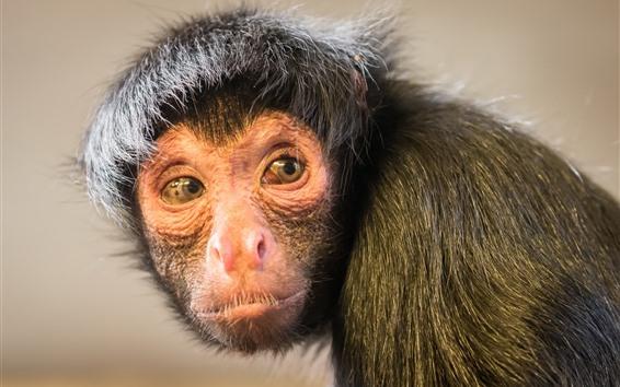 Papéis de Parede Macaco olha para trás