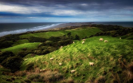 Papéis de Parede Nova Zelândia, costa, ovelha, grama, nuvens