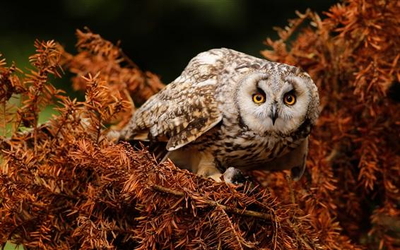 Wallpaper Owl look, needles, twigs