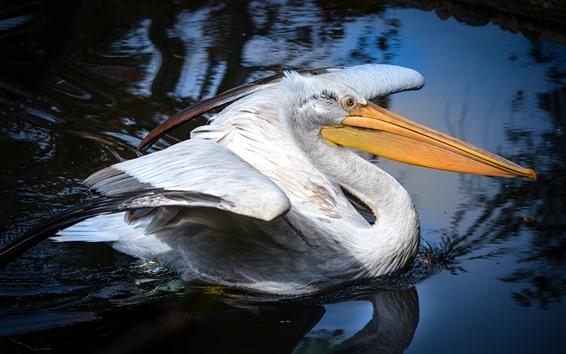 Обои Пеликан, длинный клюв, вода