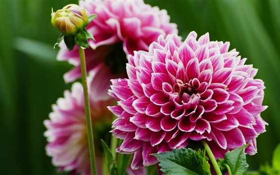 Wallpaper Pink dahlia, bloom, spring