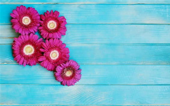 Wallpaper Pink gerbera flowers, blue wood background