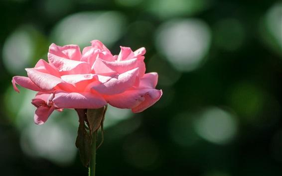 Wallpaper Pink rose, petals, sunshine
