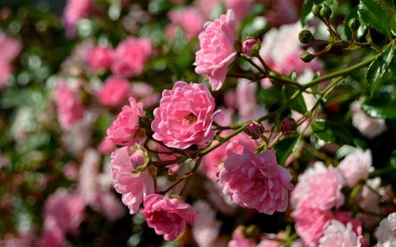 Wallpaper Pink roses, bee, spring flowers