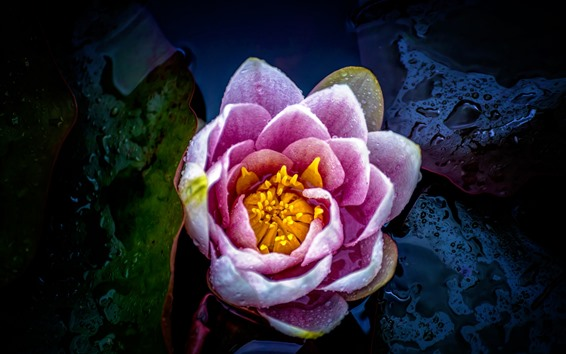 Papéis de Parede Lírio rosa, folhas, gotas de água