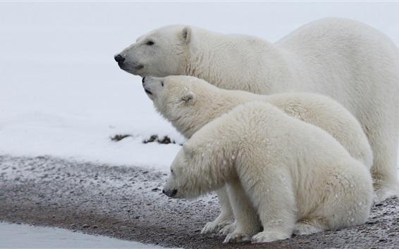 Wallpaper Polar bear family, snow, cold